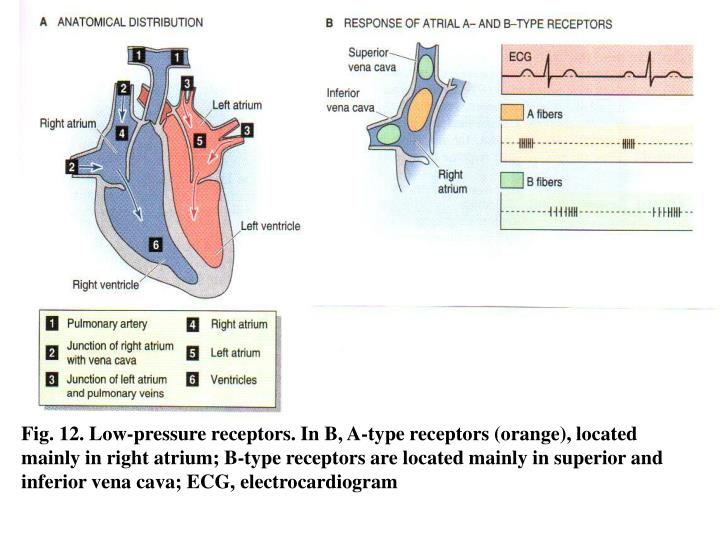 Fig. 12. Low-pressure receptors. In B, A-type receptors (orange), located mainly in right atrium; B-type receptors are located mainly in superior and inferior vena cava; ECG, electrocardiogram