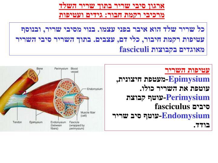 ארגון סיבי שריר בתוך שריר השלד