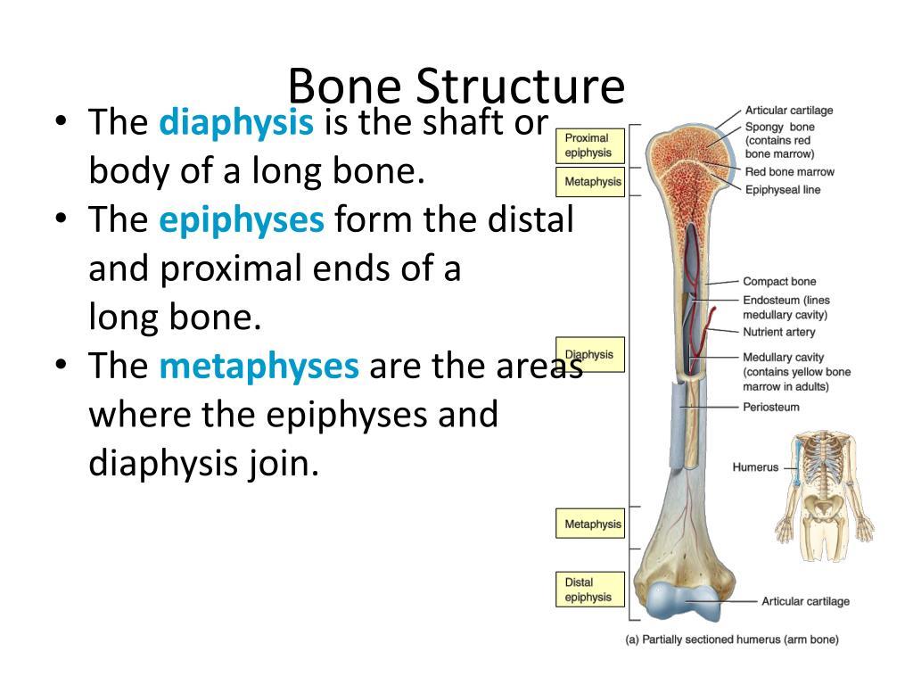 ppt bone structure powerpoint presentation id 2064486