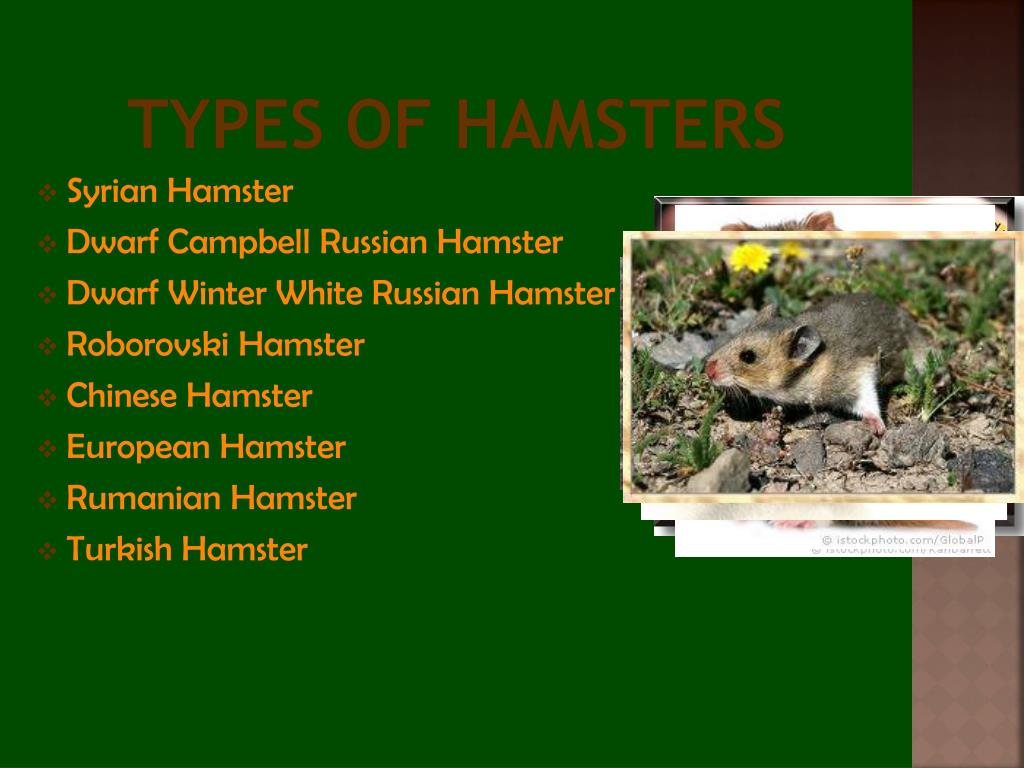 PPT - Hamsters PowerPoint Presentation - ID:2064642