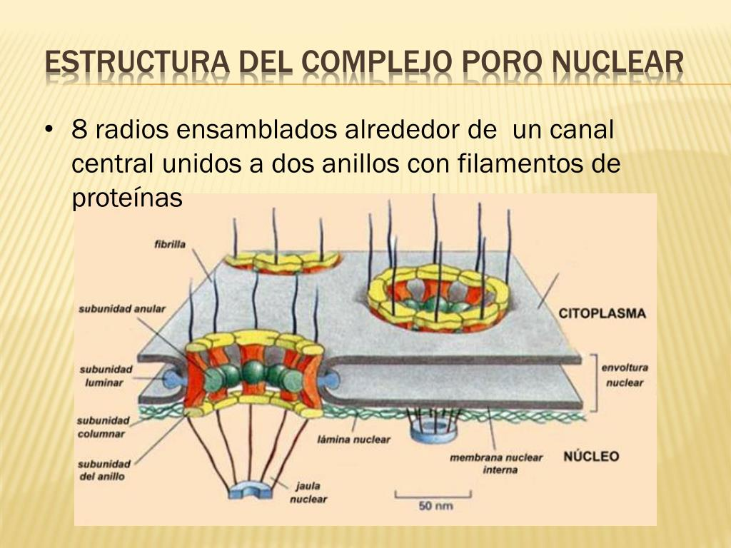 Ppt Nucleo Powerpoint Presentation Free Download Id 2065036