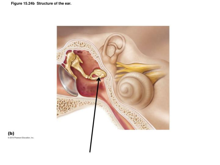 Figure 15.24b  Structure of the ear.