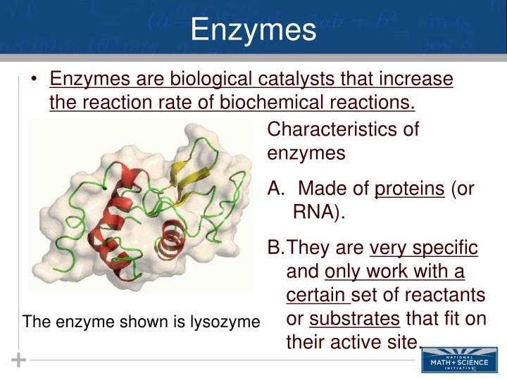 the use of enzyme activity for determining the kintetic characteristics of biological reactions A mathematical model of the kinetics of single-substrate-enzyme-catalyzed reactions was first developed by v c r henri in 1902 and by l michaelis and m l menten in 1913 kinetics of simple enzyme-catalyzed reactions are often referred to as michaelis-menten kinetics or saturation kinetics.