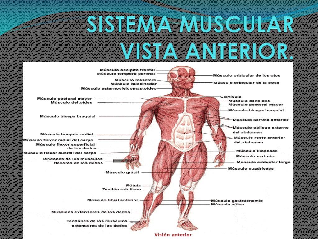 PPT - SISTEMA MUSCULAR VISTA ANTERIOR. PowerPoint Presentation - ID ...