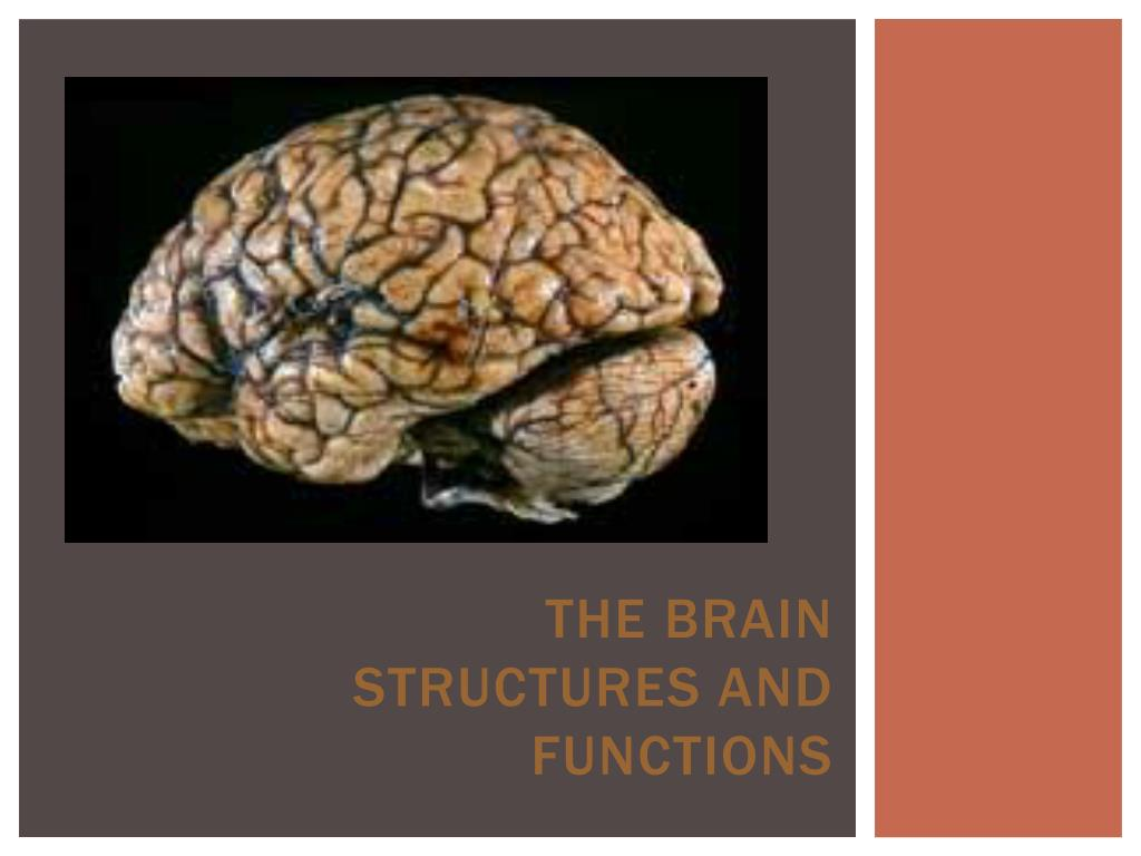 Ppt The Brain Structures And Functions Powerpoint Presentation