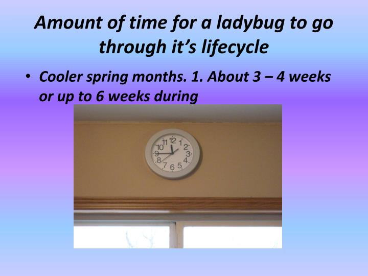Amount of time for a ladybug to go through it's lifecycle