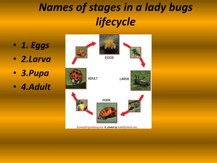Names of stages in a lady bugs lifecycle