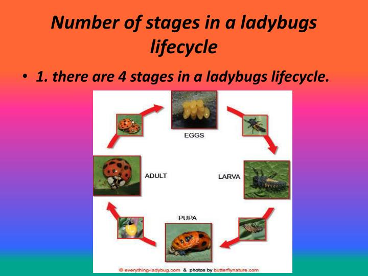 Number of stages in a ladybugs lifecycle