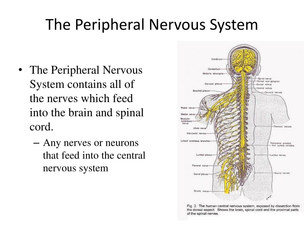 Ppt The Peripheral Nervous System Powerpoint Presentation Id2069278