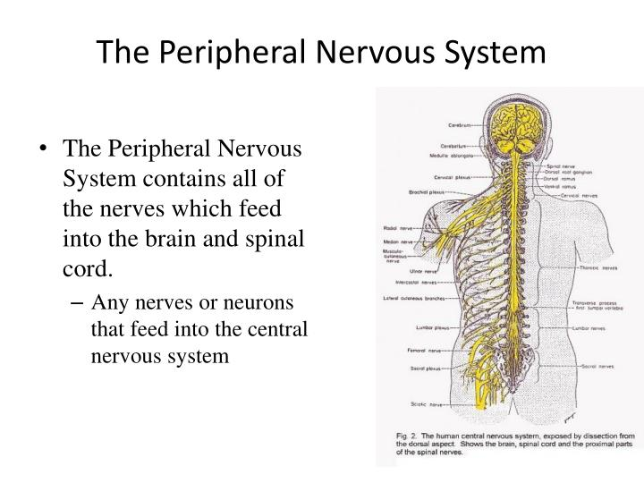 the peripheral nervous system n.