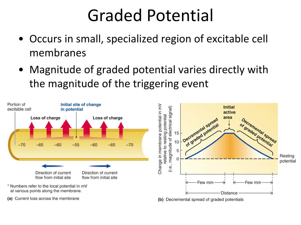 Ppt Graded Potential Action Potential Powerpoint Presentation Free Download Id 2069368 In this video, dr mike explains how a neuron can be stimulated or inhibited to send a signal. graded potential action potential