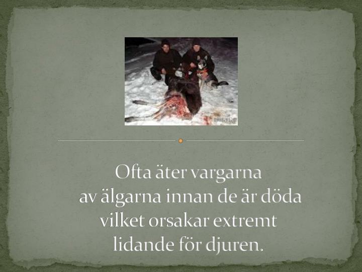 Ofta äter vargarna
