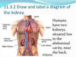 11 3 2 draw and label a diagram of the kidney