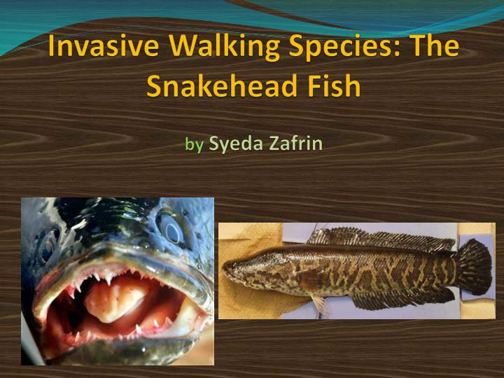 invasive walking species the snakehead fish by syeda zafrin n.