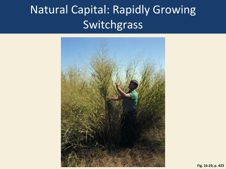 Natural Capital: Rapidly Growing Switchgrass