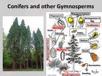 conifers and other gymnosperms