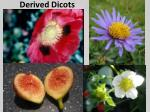 derived dicots