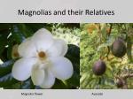 magnolias and their relatives