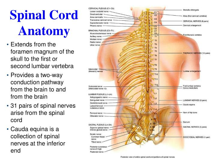 Ppt Spinal Cord Reflexes Peripheral Nervous System Powerpoint