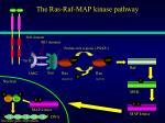 the ras raf map kinase pathway