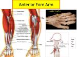 anterior fore arm