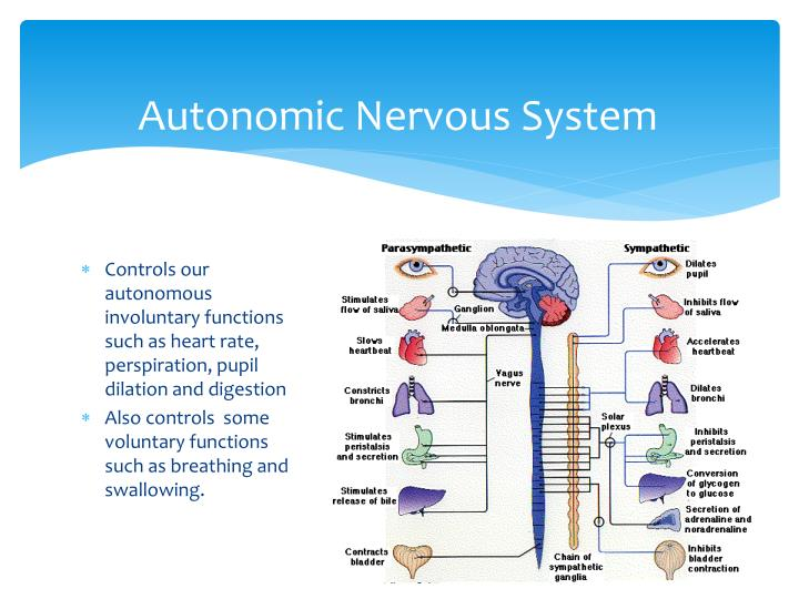 the autonomic nervous system understanding essentials Art, autonomic response testing is a biofeedback assessment to the autonomic nervous system kinesiology with the understanding of the anatomy and.