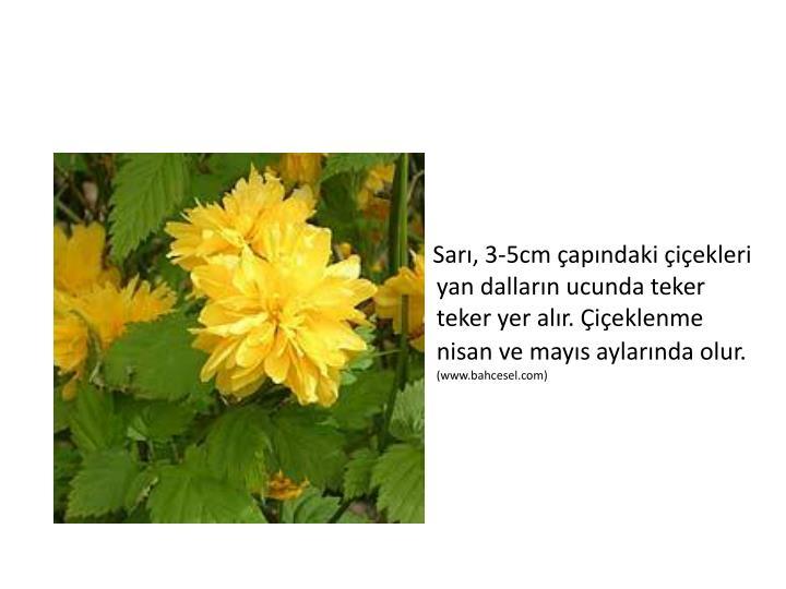 Sarı, 3-5cm çapındaki çiçekleri yan dalların ucunda teker teker yer alır. Çiçeklenme nisan ve mayıs aylarında olur.