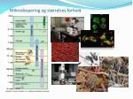 mikroskopering og st rrelses forhold