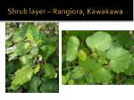 shrub layer rangiora kawakawa