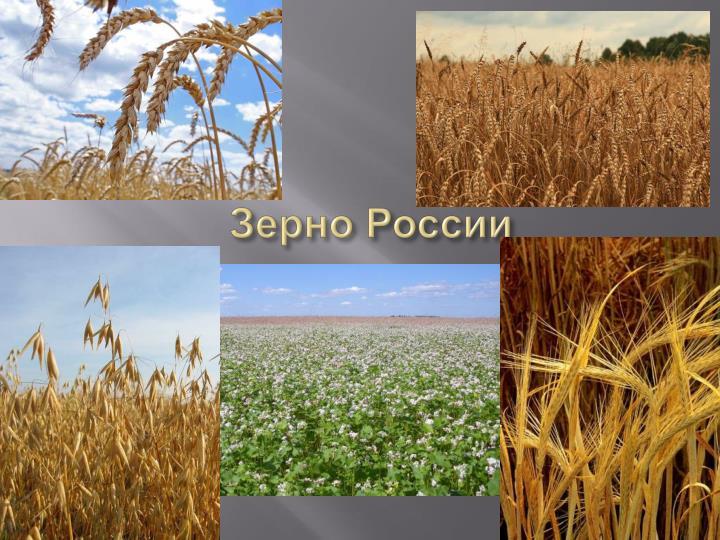 Зерно России