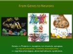 from genes to neurons