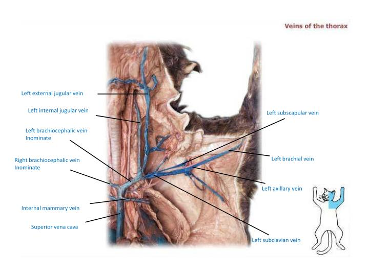 Ppt Cat Dissection Superior Arteries And Veins Powerpoint