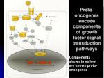 proto oncogenes encode components of growth factor signal transduction pathways
