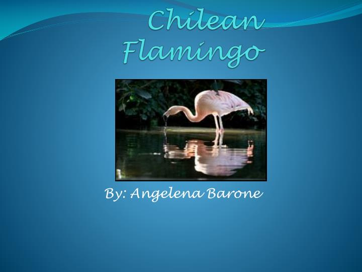 chilean flamingo n.