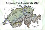 e typhina from d glomerata 2n e m