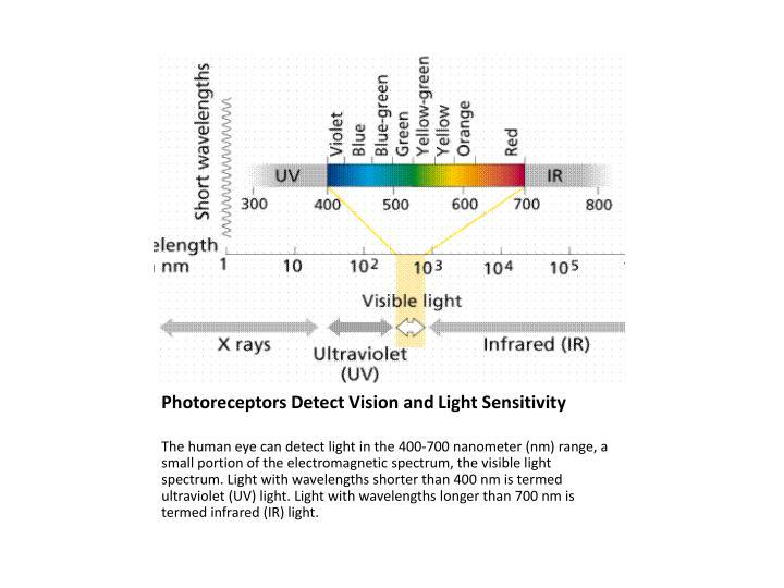 Photoreceptors Detect Vision and Light Sensitivity
