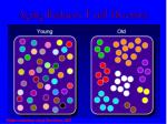 aging reduces t cell diversity