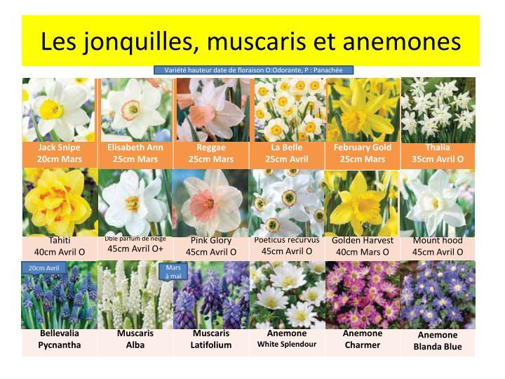 Les jonquilles muscaris et anemones