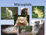 marsupiala