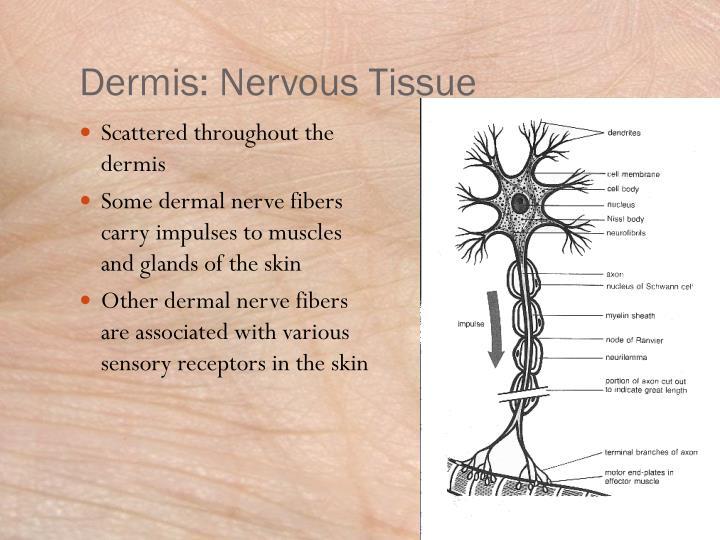 Dermis: Nervous Tissue