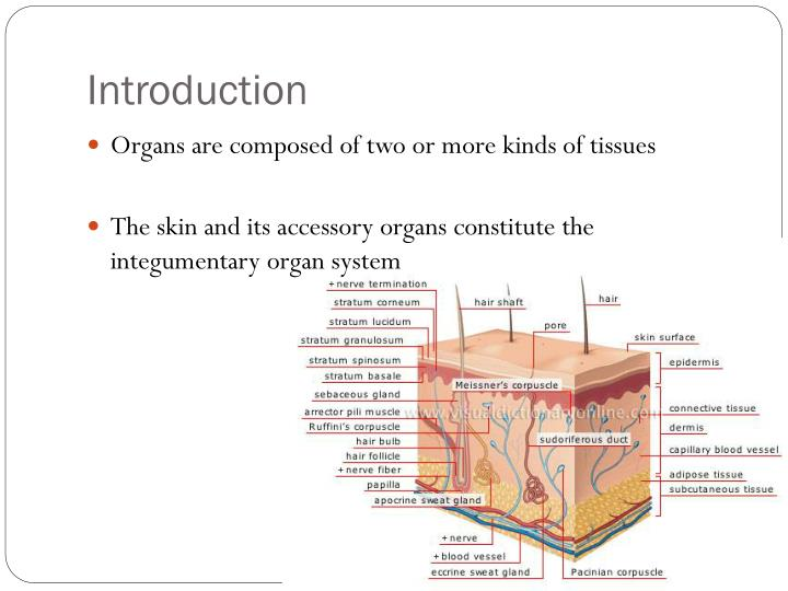PPT - Integumentary System PowerPoint Presentation - ID:2087016
