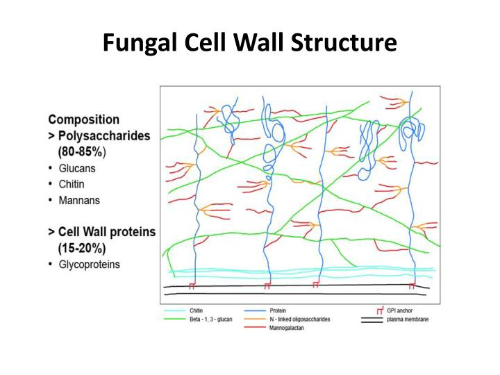 PPT - Cell wall biogenesis in Neurospora crassa PowerPoint ...