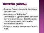 rhizopoda amoeba