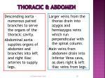 thoracic abdomen