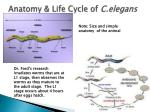 anatomy life cycle of c elegans