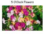 5 o clock flowers