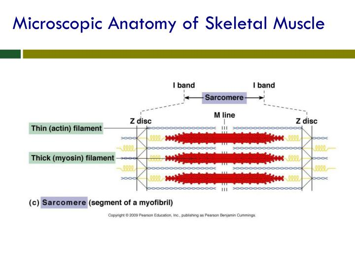 Ppt Chapter 6 The Muscular Systempart A Powerpoint Presentation