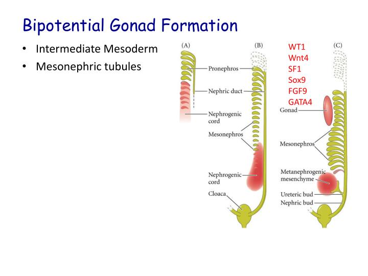 sex chromosomes and sex determination ppt slides in Seattle