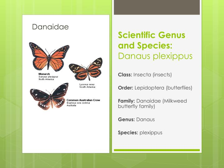 an analysis of the danaus plexippus as belonging to he family danaidae Chapter 11-1 's name_____ multiple choice: circle the answer that best completes the sentence the austrian monk chapter 11-1.