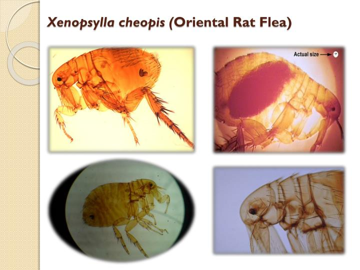 Xenopsylla Cheopis Life Cycle PPT - Flea & Bedbu...